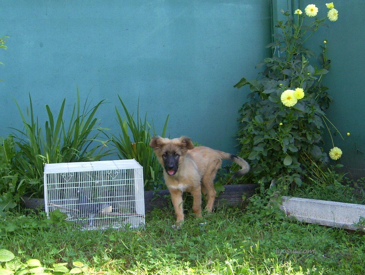 Рассказ о щенке. Фото Феникс вырос.