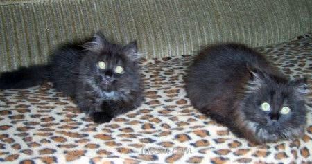Черная кошка, черный кот