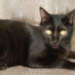 Черная кошка, черный кот.