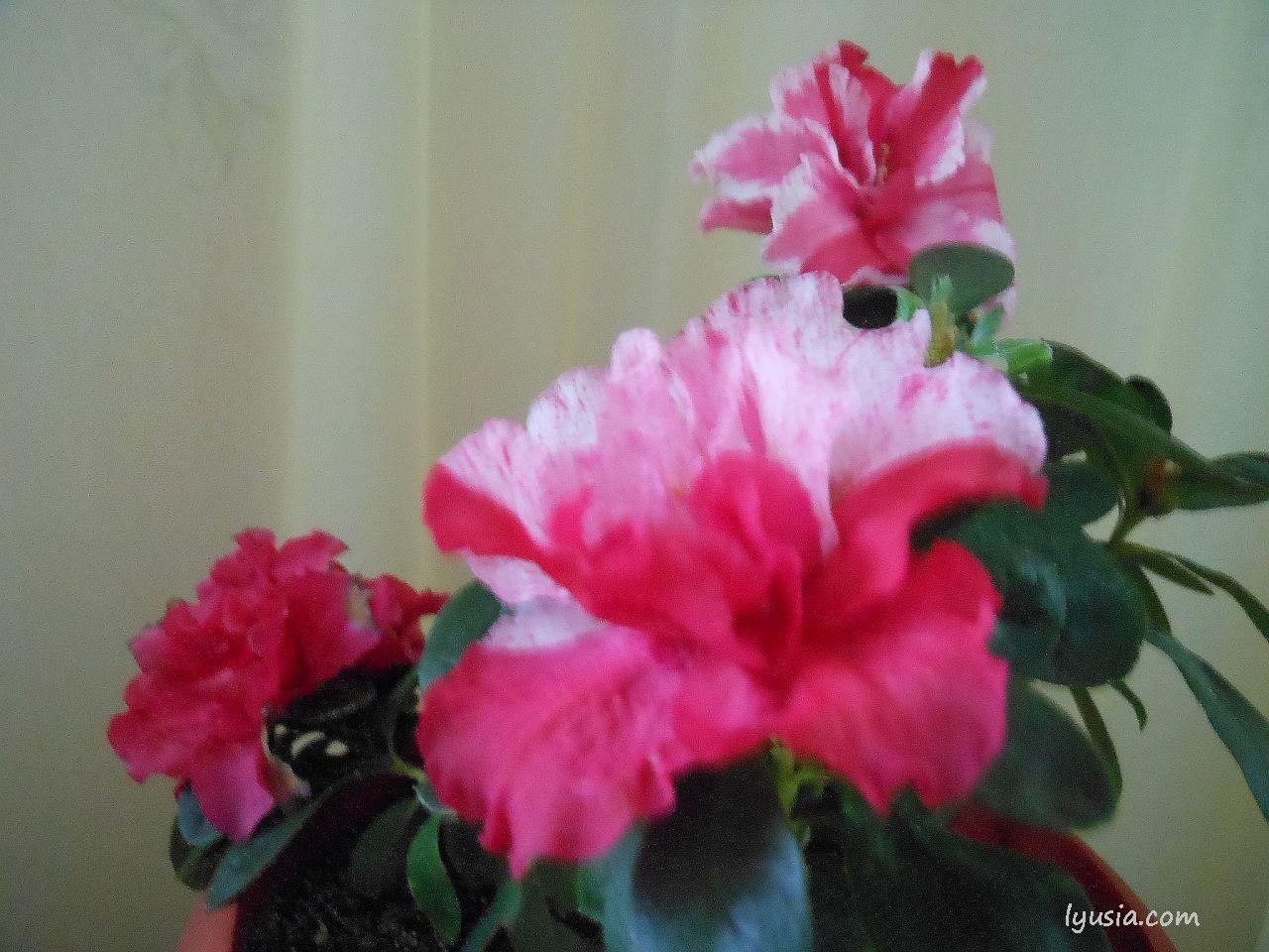 Цветущие азалии цветы азалия фото