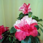 Цветущие азалии. Цветы азалия фото.