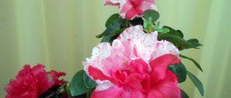 Цветущие азалии, цветы азалии фото