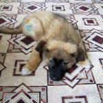 Как восполнить у щенка недостаток кальция (продолжение истории).