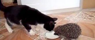 Ёжик и котик. Как Ёжик с Масянькой делиться не стал.