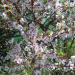 Китайская вишня, войлочная вишня