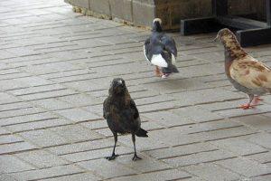 Милые животные, фото. Галка и голуби