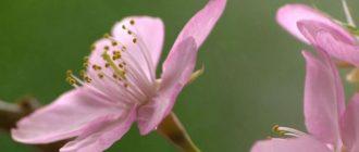 Сакура цветет