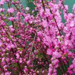 Луизеания, или миндаль трехлопастной, фото
