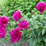 Цветы пионы, пион травянистый