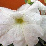 Цветы петунии фото