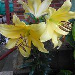 Лилии садовые