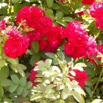 Розовый куст. Фото дня.