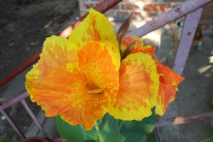 Канна цветет, фото.