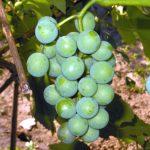 Созревает виноград.