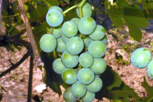 Созревает виноград. Фото дня.